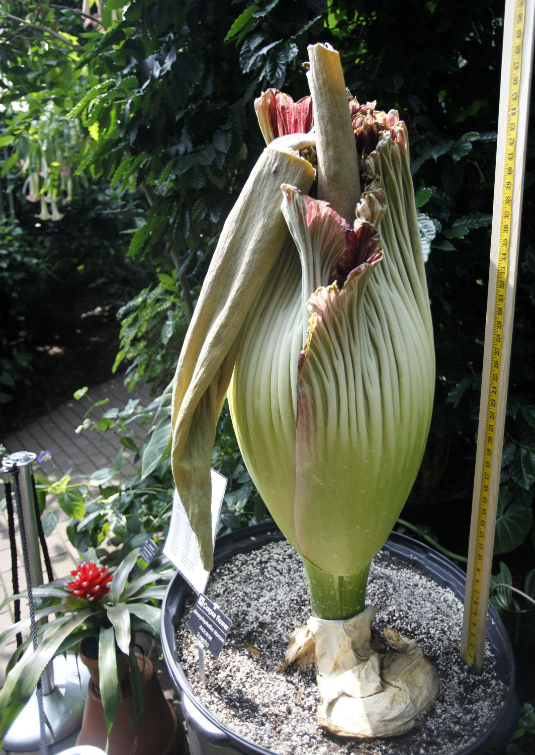 Photos Corpse Flower At Olbrich Gardens Local News