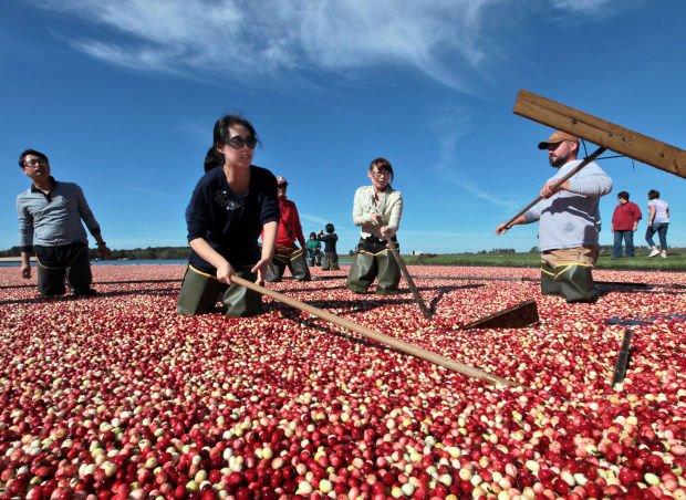 Koreans take in the cranberry