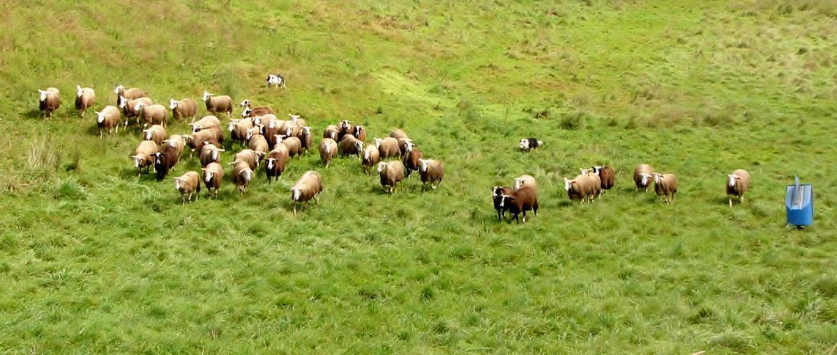 Border Collies herd sheep