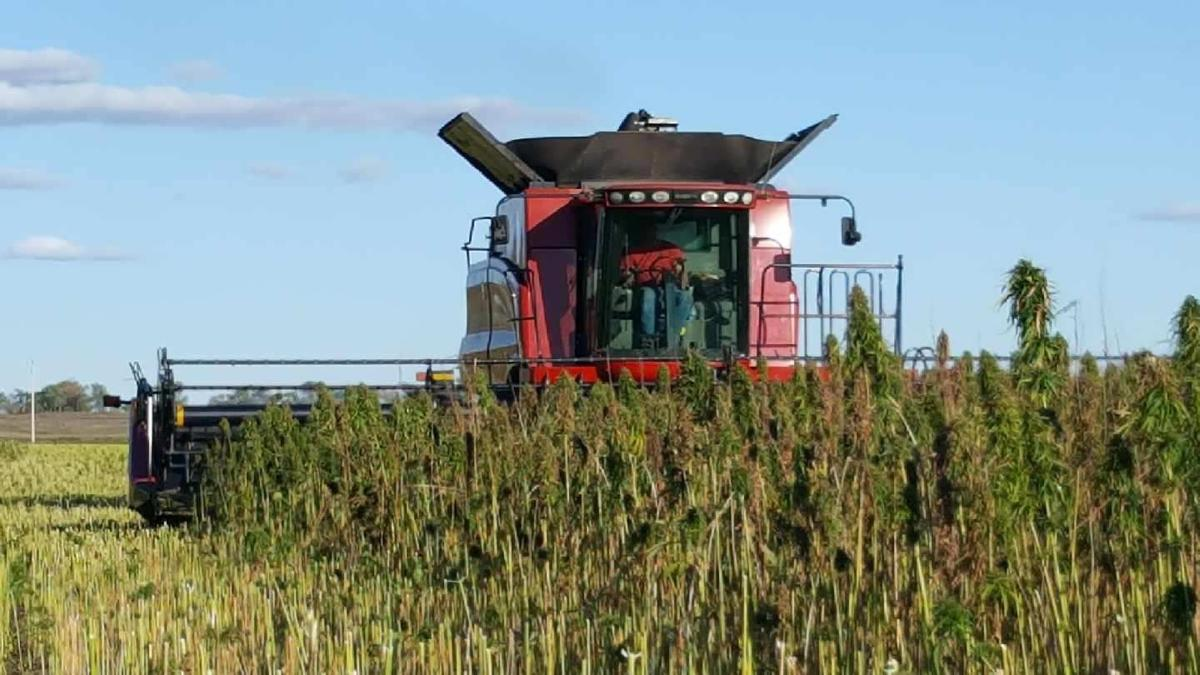 Hemp being harvested