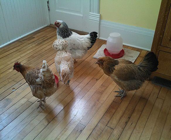 Bormett chickens