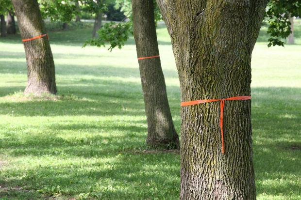Ash trees file photo, emerald ash borer