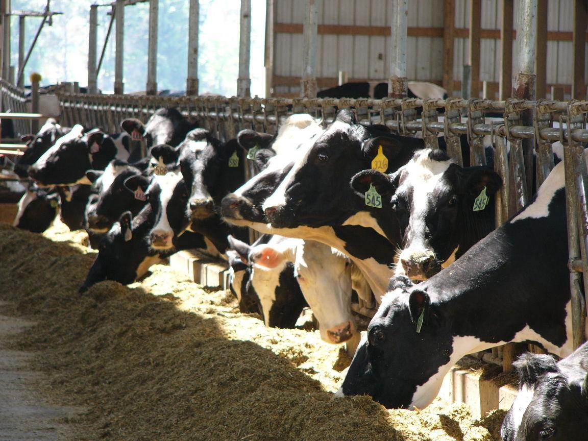 """Dairy herd """"retirement"""" lawsuit settlement deadline is near"""
