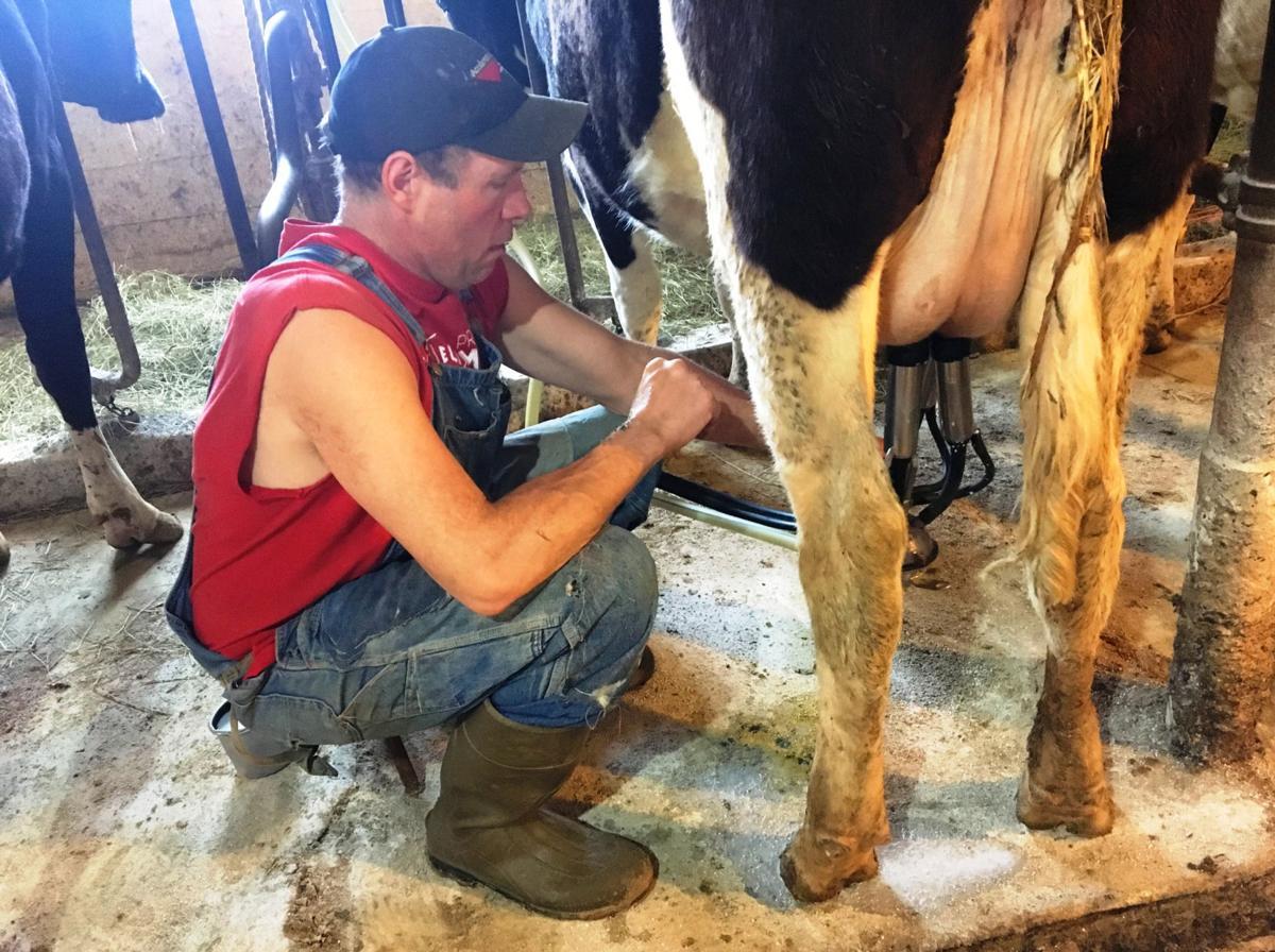 Nels Nelson milking cow (copy)