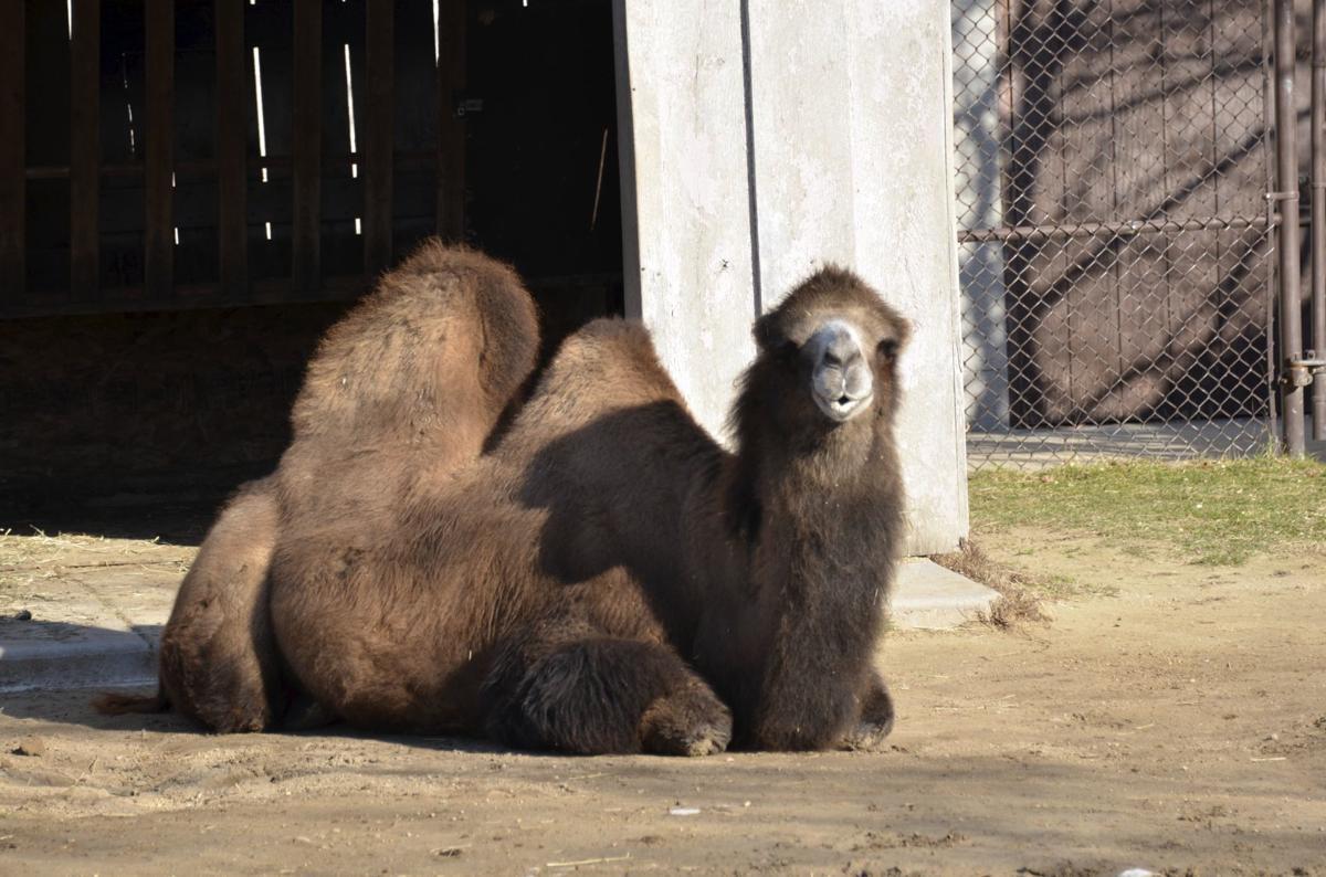 Sheela the camel