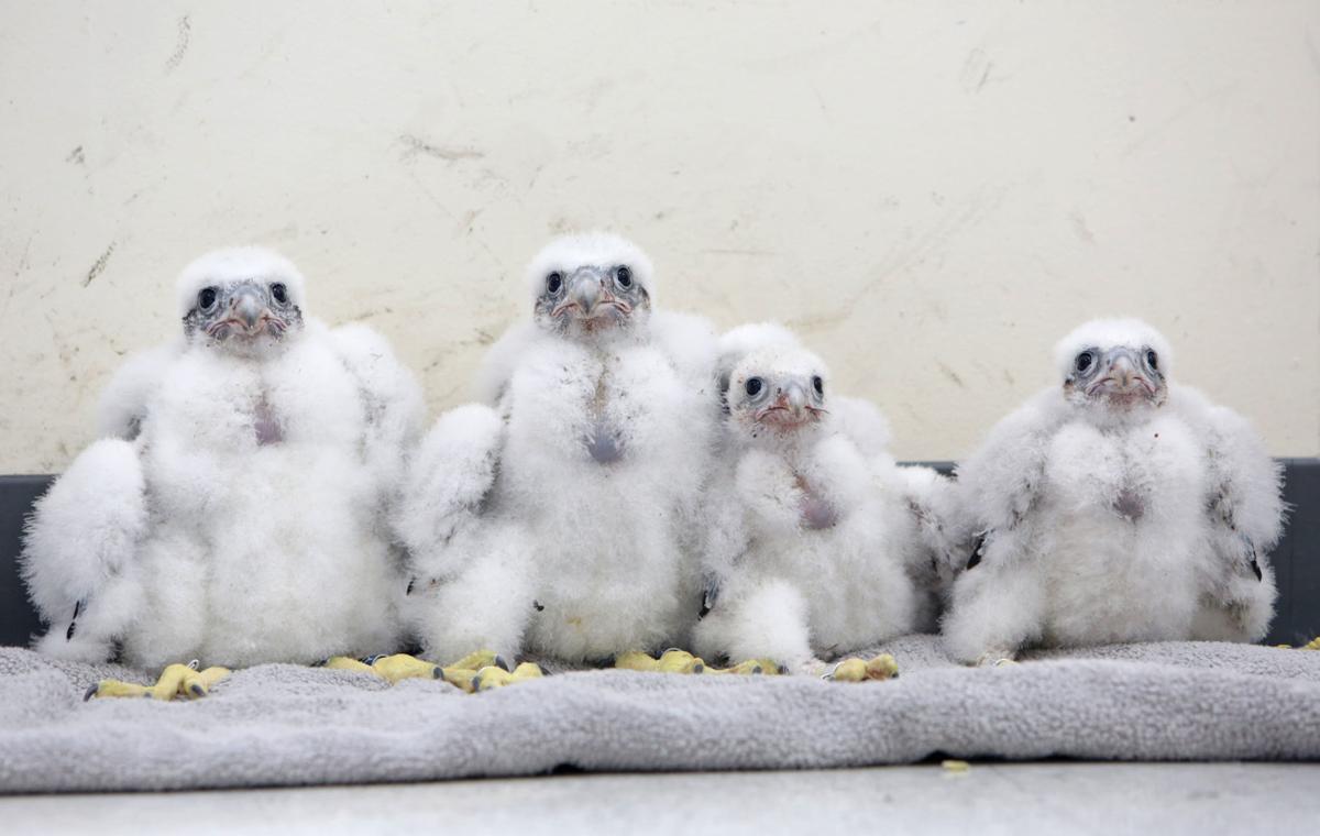 Four falcon chicks