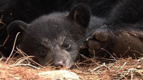 Lily's cub Hope