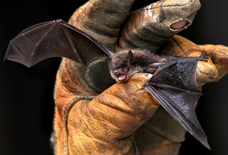 Threatened Bats