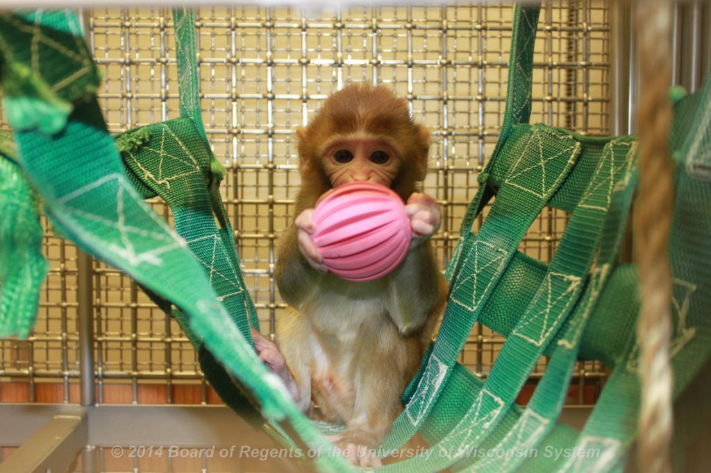 Infant monkey playing with ball
