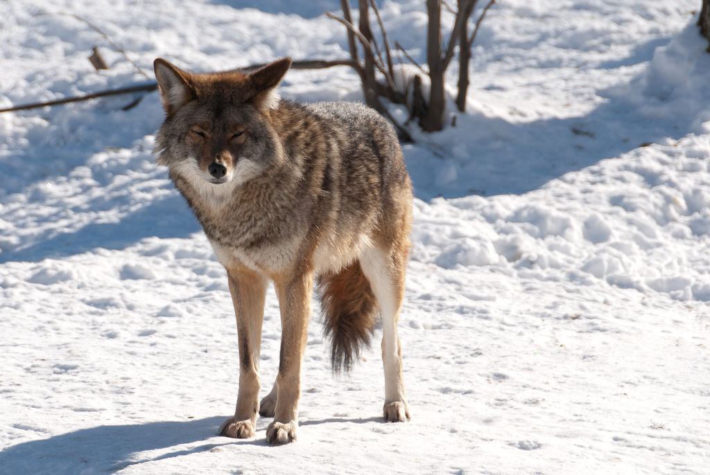 Coyote in snow stock image for Engberg