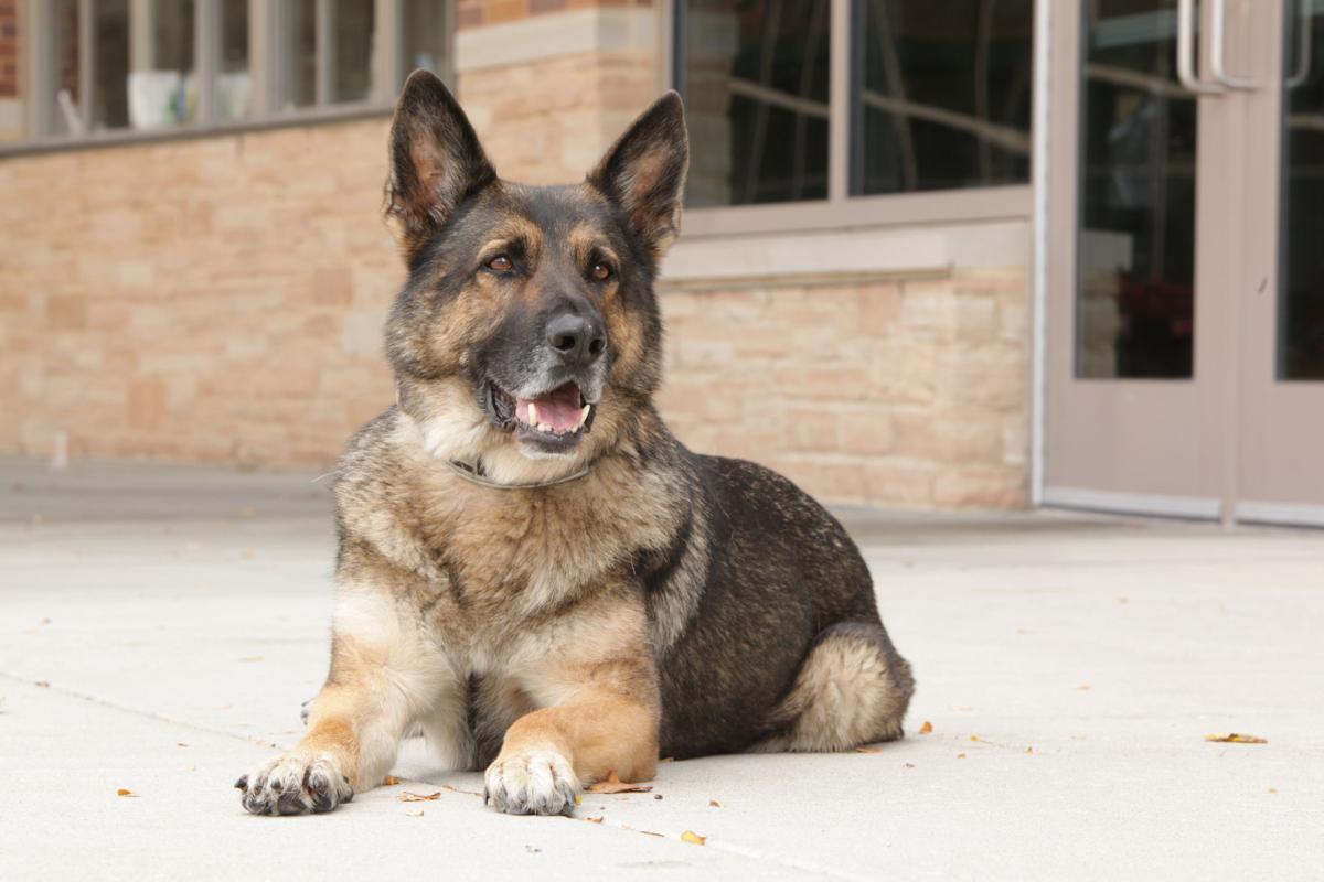 Odin the police dog