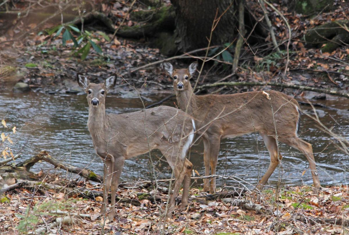 Deer along stream