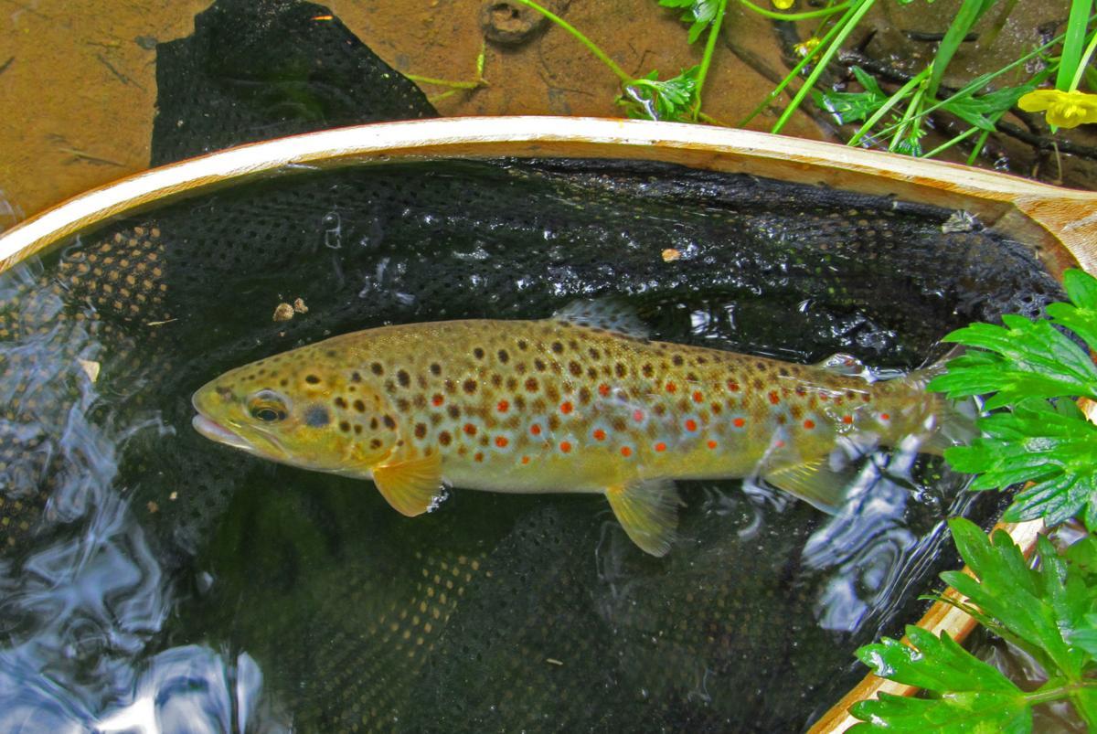 9-inch wild brown