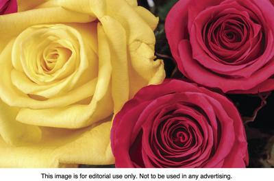 Sentiments that the colors of roses are meant to convey