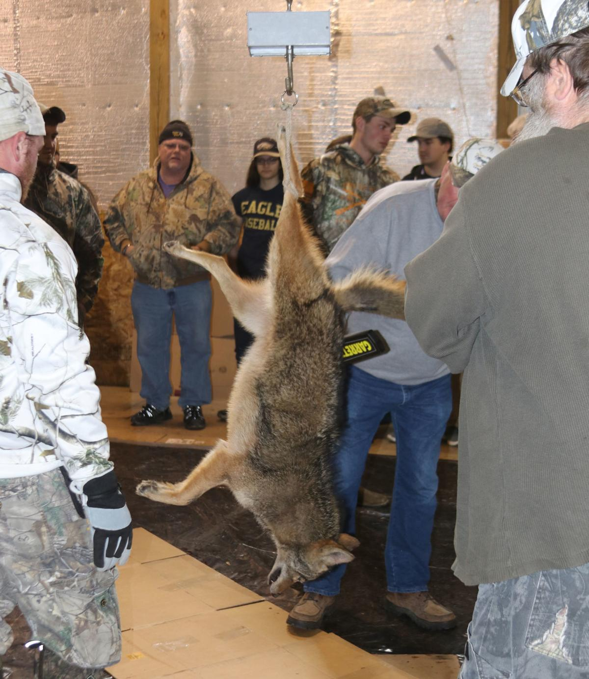 Coyote processed at Mosquito Creek