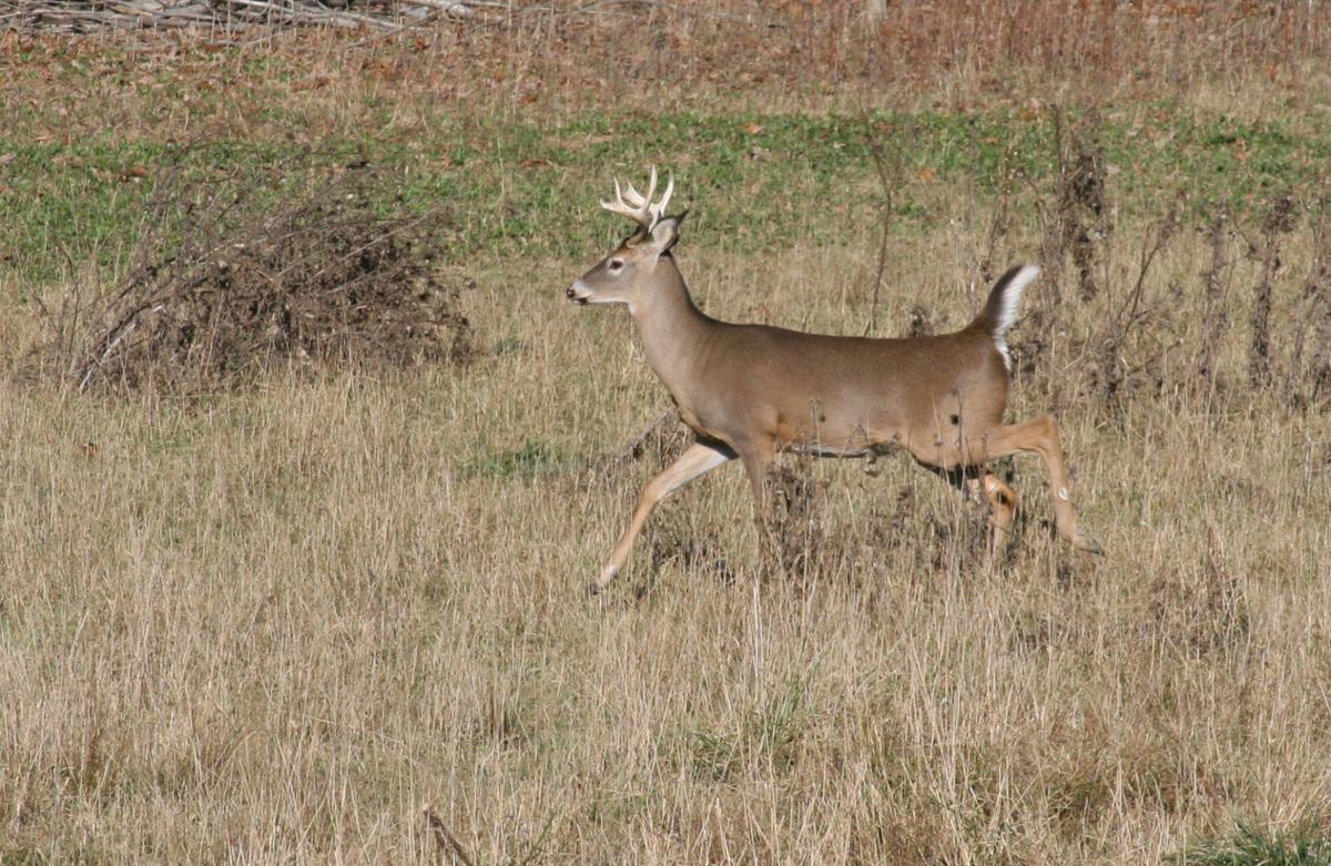 6-point buck
