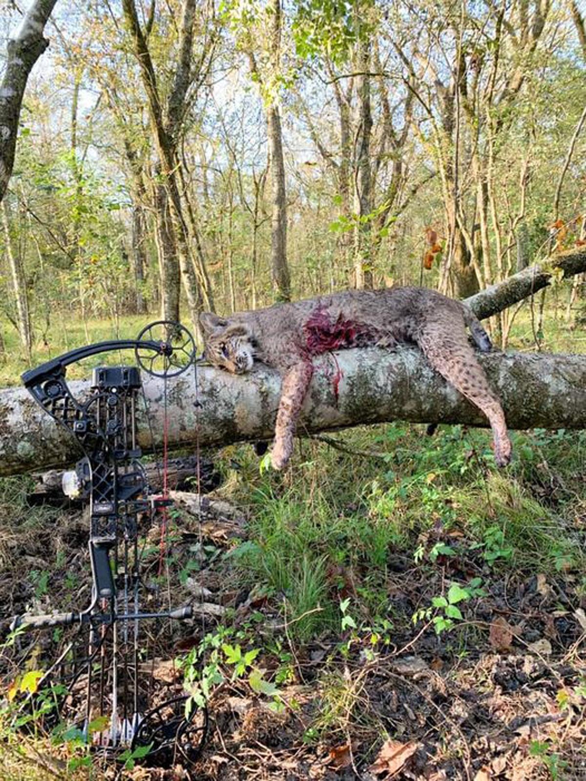 Theriot, 19, draws, fires and claims a bobcat kill on hunt near his house