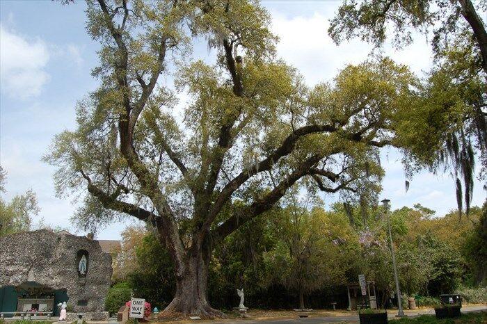 Cliff Aucoin oak.jpg