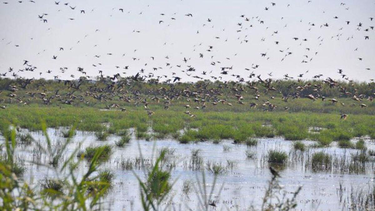 Special teal season arrives after Laura delivers a big hit on Louisiana