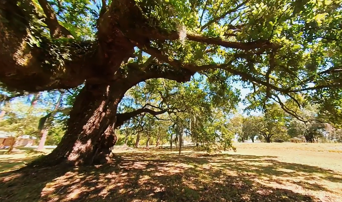 oaks 4.png