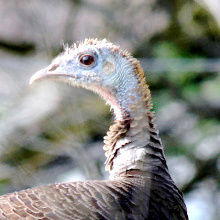New turkey hunts slated