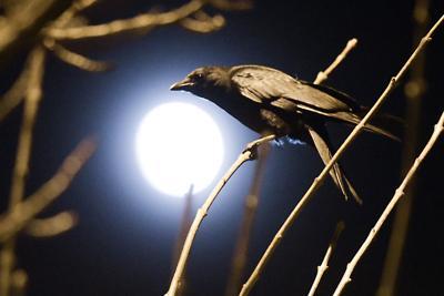 Crow Migration