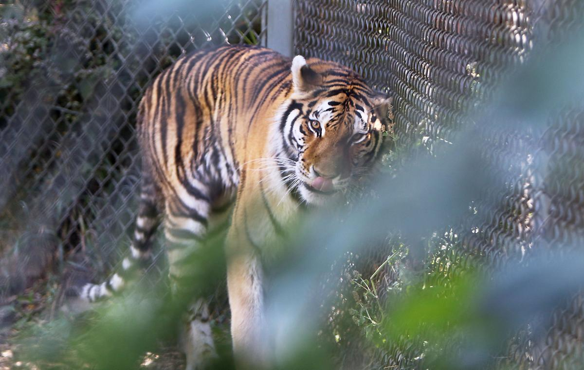 Zoo Boise tiger on the prowl