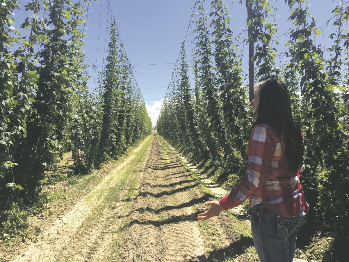 Hops Farmers Learn To Maneuver A Growing Industry Farm Ranch Idahopress Com
