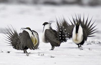 Sage Grouse Forest Service