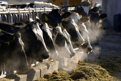 Cow Manure Pollution