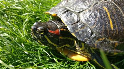 Pet talk: Turtles and tortoises as pets | Nampa | idahopress com