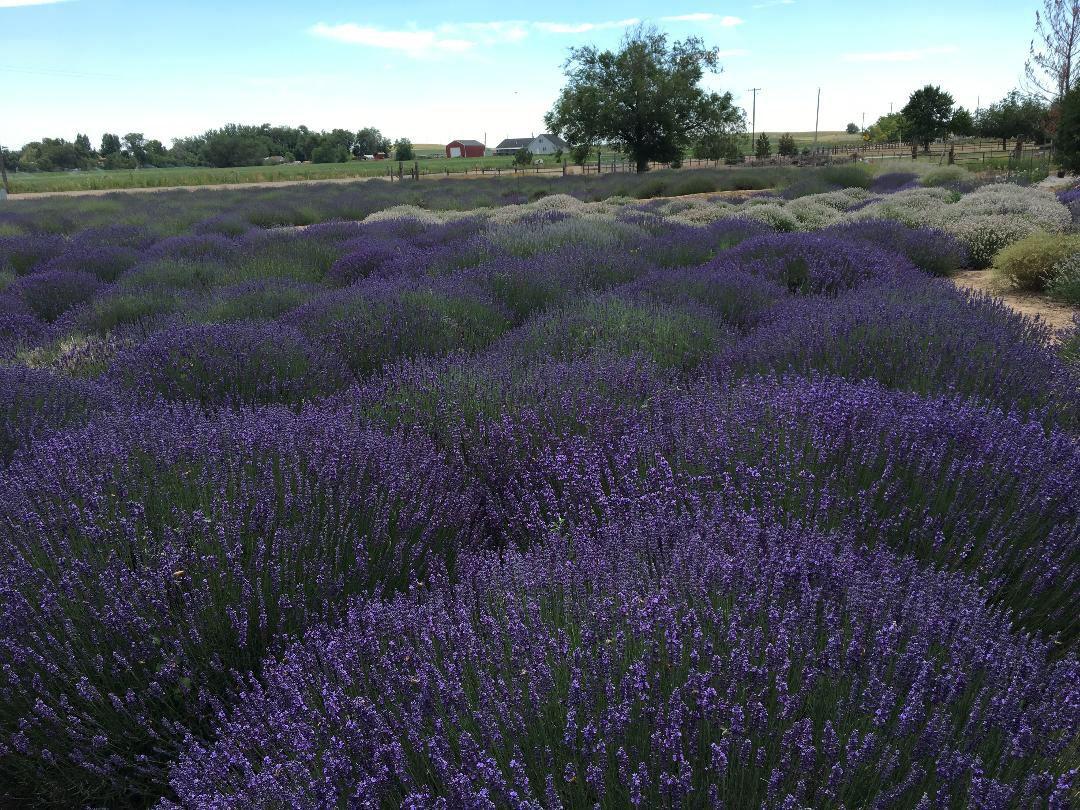 Lavender Festivals A Bloom Outdoors News Idahopress Com