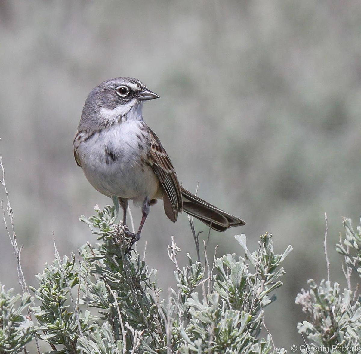 Sagebrush Sparrow by Ceredig Roberts.jpg