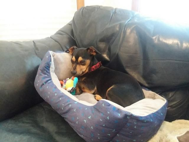 Meridian Canine Rescue Pet of the Week Rocky Rolo