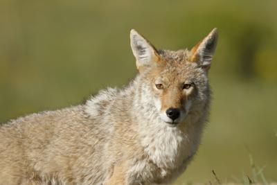 Coyote file art - nampa