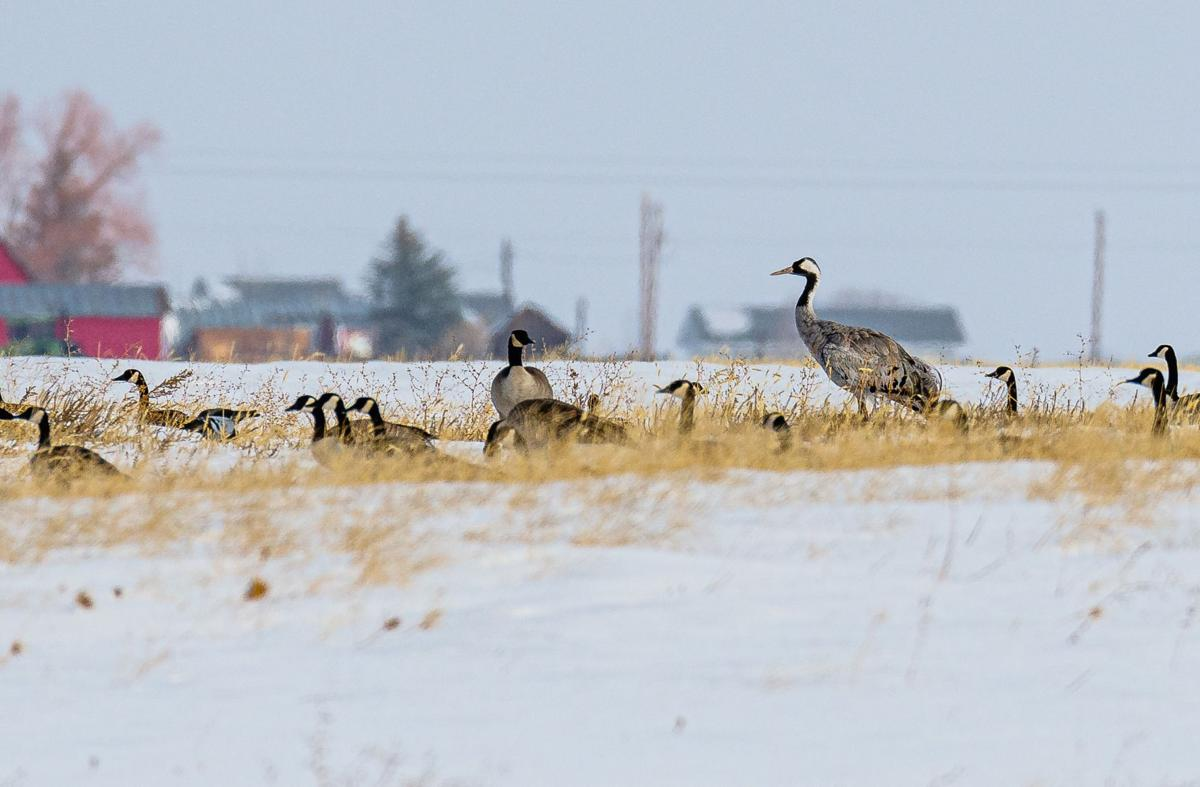 common crane and Canada geese by Ken Miracle.jpg