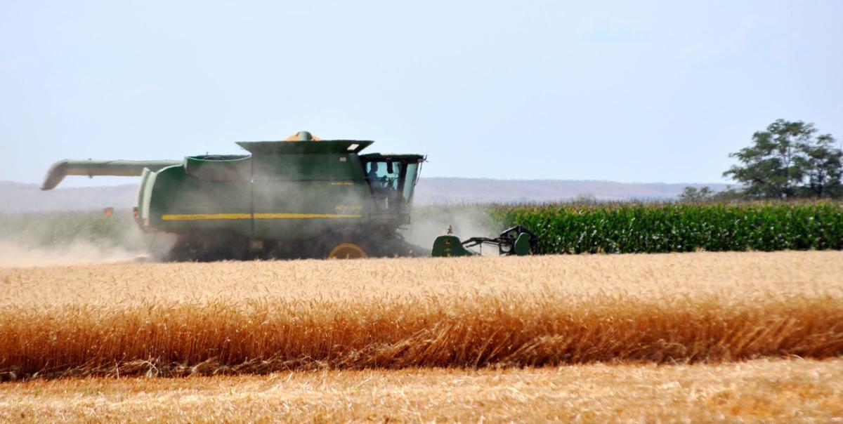 Corn seed harvest