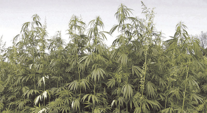 hemp in field