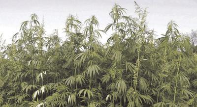 hemp in field