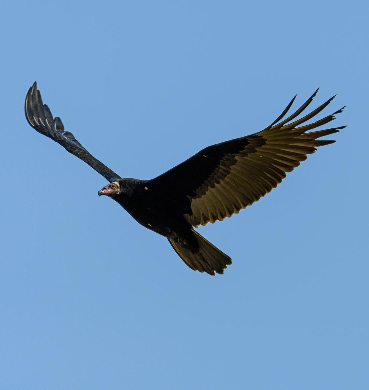 turkey vulture by Ken Miracle.jpg
