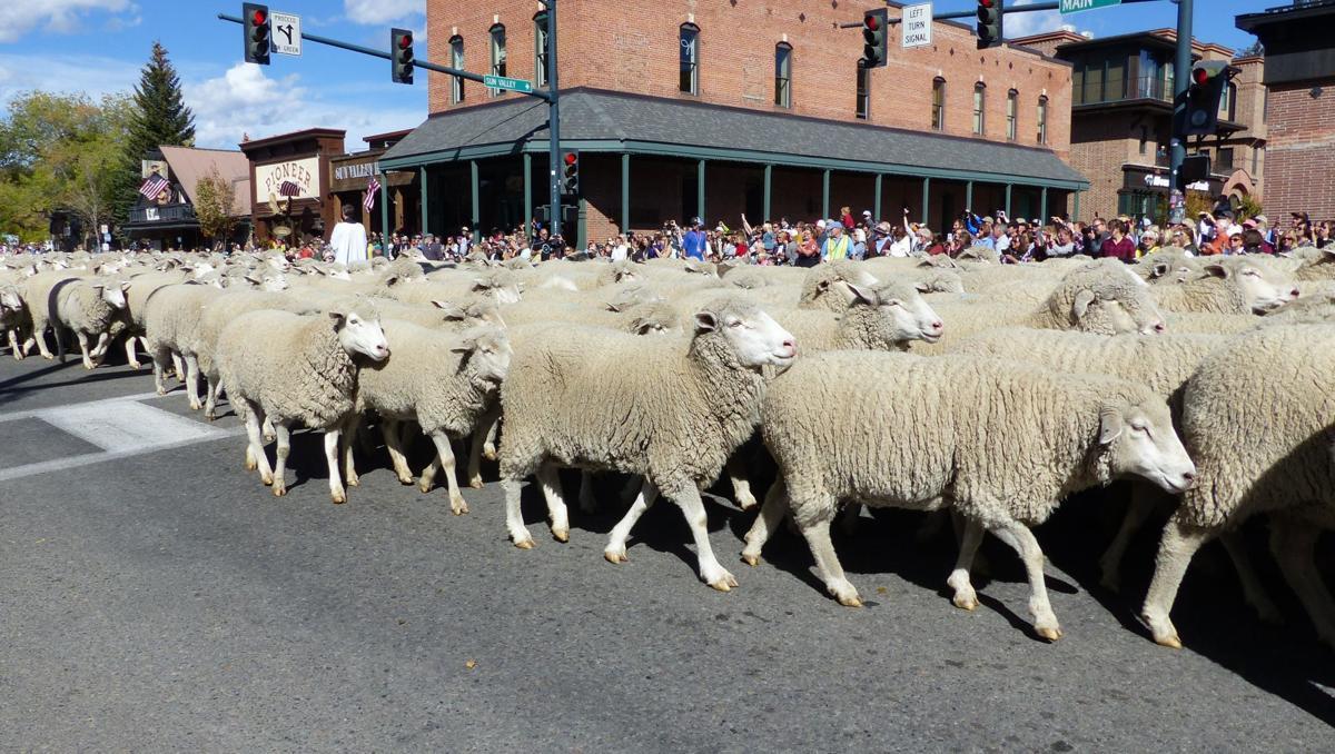 Parade sheep trailing past. Credit Carol Waller.JPG