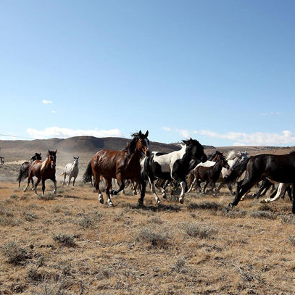 BLM returns wild horses to range in Nevada | Local News
