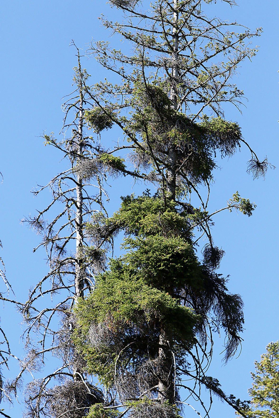 Bogus Basin tree removal