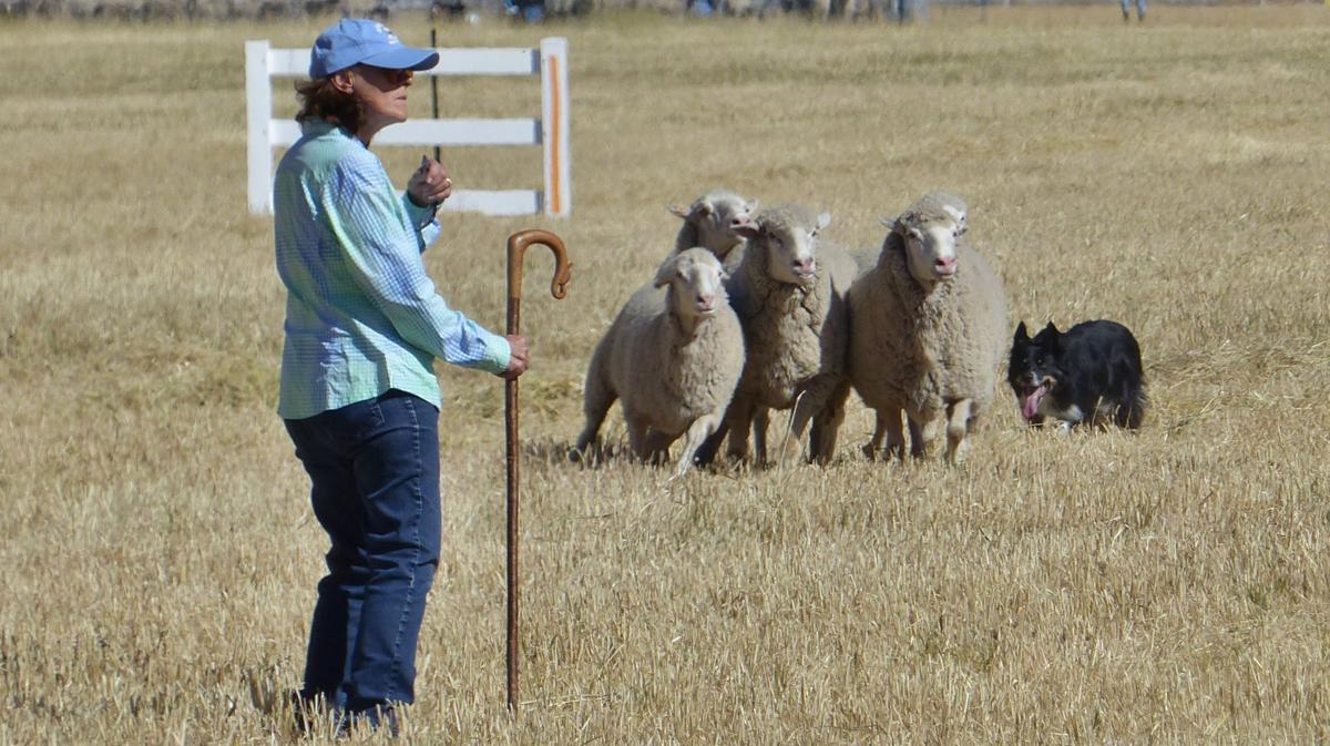 Sheep dog working sheep handler front. Credit Carol Waller.JPG