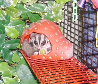 Sugar Glider in habitat