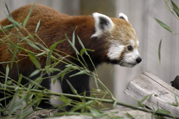 red panda ipt.jpg