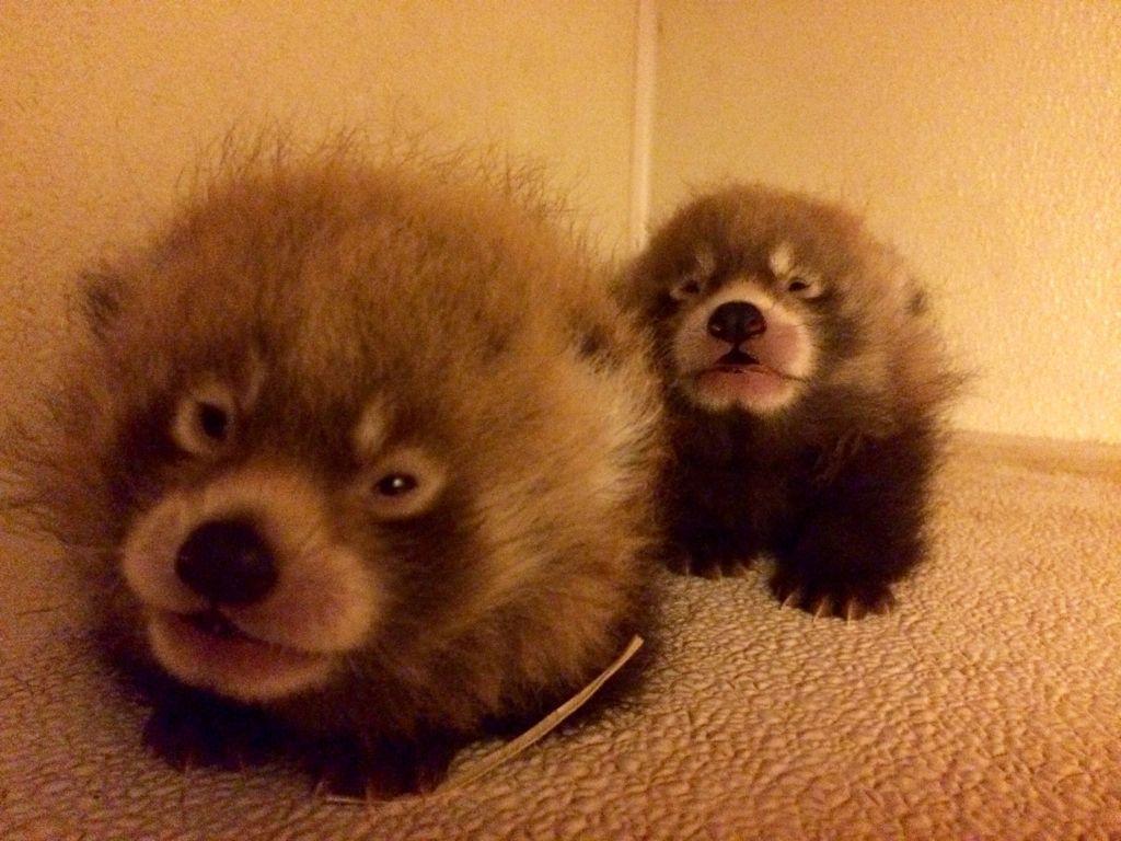red panda zoo.jpg