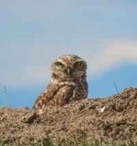 Just for the birds: The Owls of Idaho — Part III