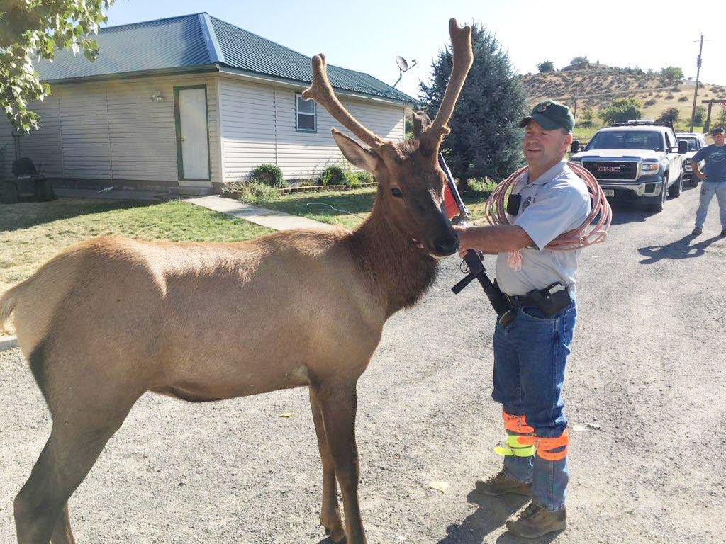 Problem elk in Sweet removed