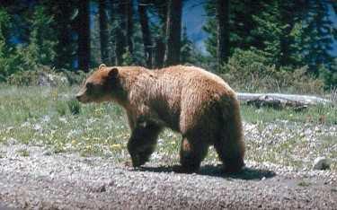 Idaho Campground Closed Because Of Bear Activity Xtreme Idaho